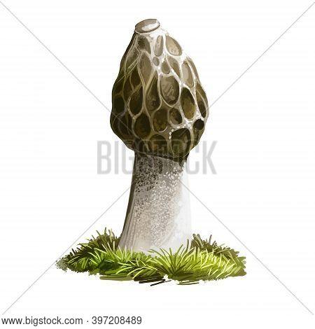 Phallus Hadriani Mushroom Digital Art Illustration. Dune Stinkhorn Watercolor Print, Hymenophallus I