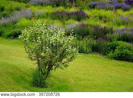 Apple Tree In Foreground On The Lawn. Lush Flower Bed With Sage Blue And Purple Flower Color Combine