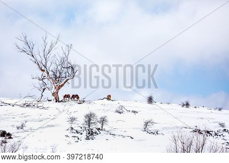 Horses On A Hill In A Field Covered In Fresh Snow During Winter In Australia