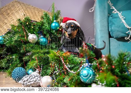 Mess Dog Dachshund In A Sweater And A Santa Cap Played Too Much And Filled Up Artificial Christmas T