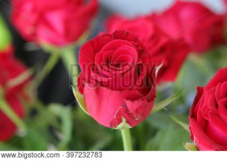 Bouquet Of Red Roses, Flowers, Valentines Day And Holidays Concept