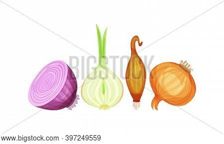 Onion Bulbs As Cultivated Vegetable As Savory Dish Ingredient Vector Set
