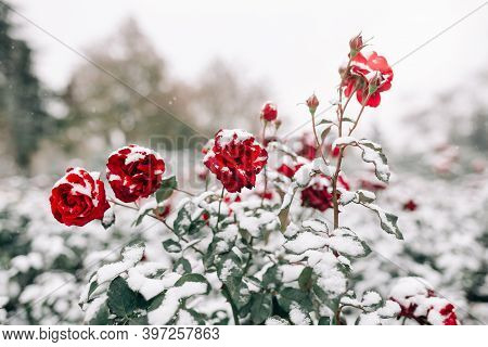 Red Roses Bushes Covered With Snow At A Winter Park. Green Bushes Of Dark Red Roses Flowers Under Th