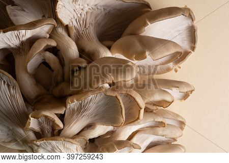 A Cluster Of Oyster Mushrooms With Their Fleshy Caps, Gills And Stipes