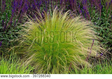 Stipa, Tenuissima, Capillata, Flower, Nature, Lavender, Purple, Field, Plant, Flowers, Garden, Summe