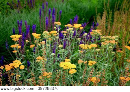 Název Prairie Flower Bed With Large Sage Perennials And Tall Yellow Tips That Bloom Gradually From