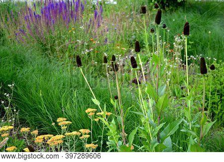 Rudbeckia, Green, Wizard, Cone, Black, Yellow, Flower, Head, Flower Bed, Eremurus, Stenophyllus, Ste