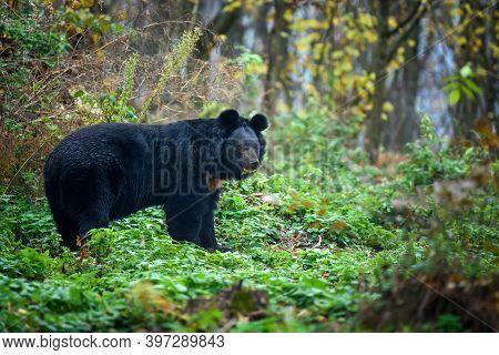 Asiatic Black Bear (ursus Thibetanus) In The Autumn Forest
