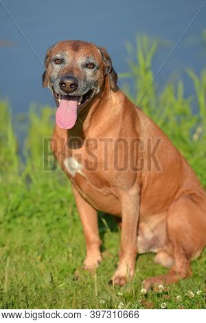 Rhodesian Ridgeback At The Age Of 7 With A Gray Muzzle