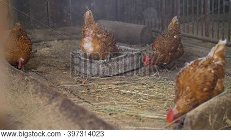 Close Up Portrait Of Free Range Chicken Hampshire. A Brown Hen Poses For The Camera In The Poultry H
