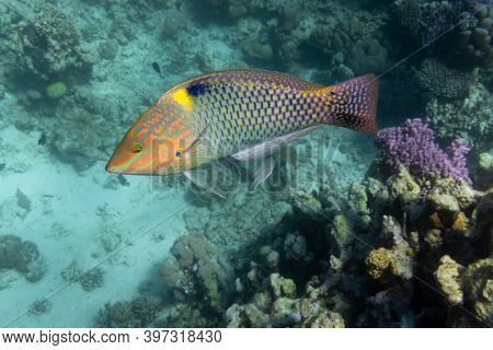 Checkerboard Wrasse (halichoeres Hortulanus) In Red Sea. Bright Tropical Fish In The Ocean, Clear Tu