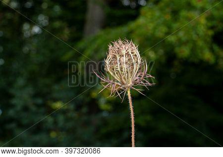 The Umbel Of Daucus Carota Or Wild Carrot Developing Seeds In Autumn
