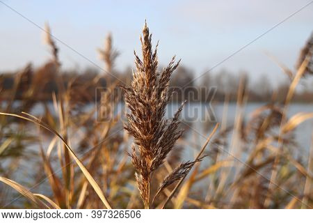 Reed Grass Is Iluminated By The Sunlight At The Rottemeren In Zevenhuizen Netherlands