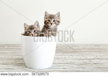 Two Gray Tabby Kittens Sitting In White Flower Pot. Portrait Of Two Adorable Fluffy Kittens With Cop
