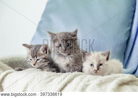 Beautiful Fluffy 3 Kittens Lay On White Blanket Against A Blue Background. Many Kittens. Gray White