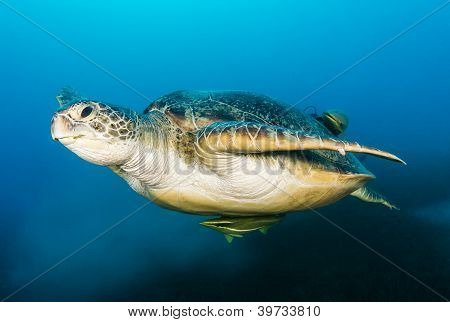 Green Turtle With Remora Attached Swimming Above Seabrass And A Cloud Of Silt