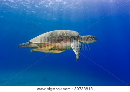 Green Turtle With 2 Remora Swimming Under Sunbeams