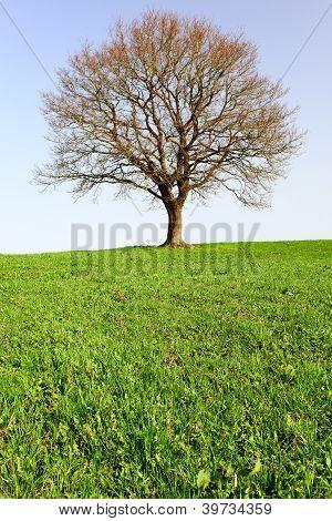 Lonely Oak Teree