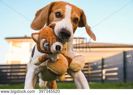 Happy Beagle Dog Playing Fetch With Owner On Sunny Evening In Back Garden. Running And Jumping Towar