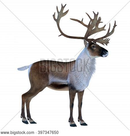 Caribou Buck 3d Illustration - The Caribou Deer Also Called A Reindeer Lives In The Northern Regions