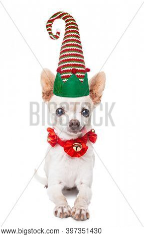 cute chihuahua in a santa or elf hat on an isolated white background
