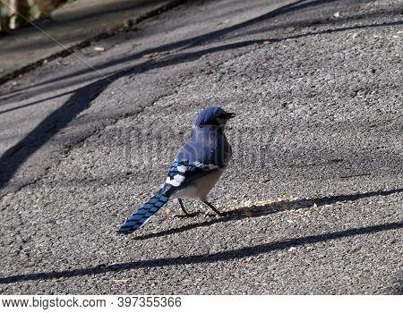 Blue Jay Bird Sitting On The Trail