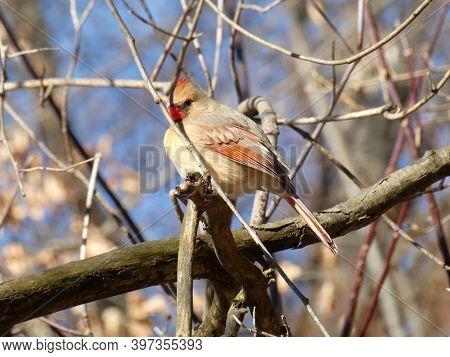 Female Cardinal Bird Sitting On The Branch