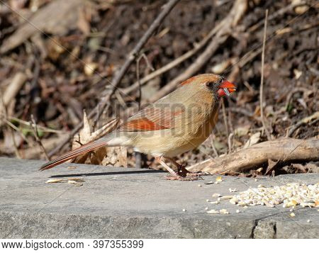 Femail Cardinal Bird Sitting On The Stone And Eating Seeds