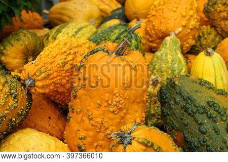 Pumpkin Harvest In Autumn Season As Background