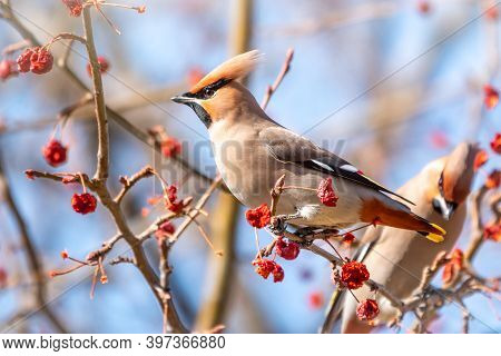 Bohemian Waxwing Sitting On The Bush And Feeding On Wild Red Apples In Winter Or Early Spring Time.
