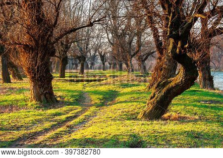 Leafless Trees In The Park At Sunrise. Green Grass On The Ground In Morning Light. Calm Nature Scene