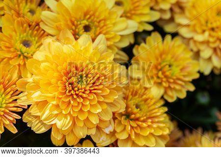 Chrysanthemums Flower. Colorful Flower. Flower In Garden At Sunny Summer Or Spring Day. Flower For P