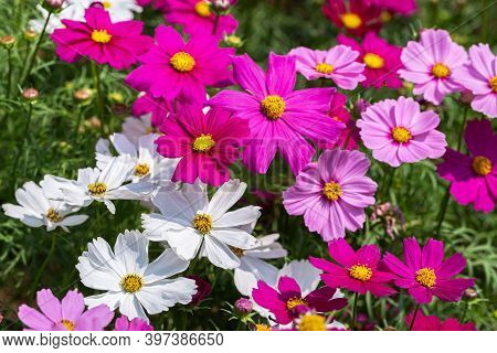 Cosmos Or Mexican Aster Flower. Colorful Flower. Flower In Garden At Sunny Summer Or Spring Day. Flo