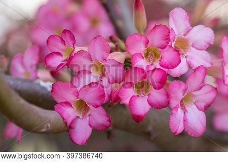Adenium Flower. Colorful Flower. Flower In Garden At Sunny Summer Or Spring Day. Flower For Postcard