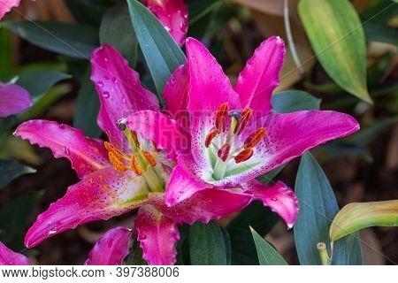 Asiatic Lily Or Asiatic Lilies Flower. Colorful Flower. Flower In Garden At Sunny Summer Or Spring D
