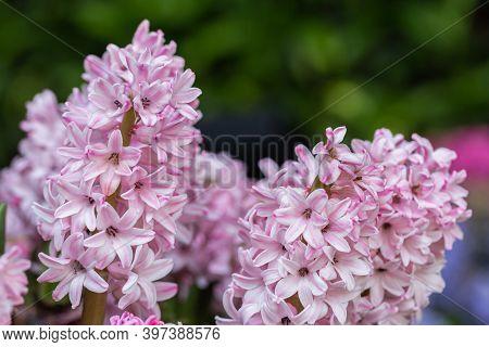 Hyacinth Flower. Colorful Flower. Flower In Garden At Sunny Summer Or Spring Day. Flower For Postcar