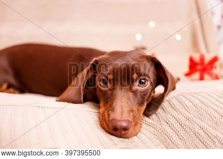 A Dachshund Puppy Lying On The Couch. Christmas Greeting Card Winter Concept. Canine Background.