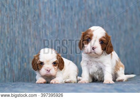 Two Puppies, Small Dogs Cavalier King Charles Spanie
