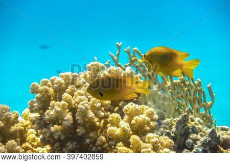 Bright Yellow Tropical Fish In The Ocean Over Coral Reef. Close Up Of Two Small Saltwater Gold Fish