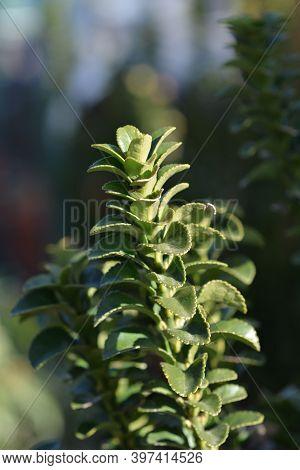 Japanes Spindle Erecta - Latin Name - Euonymus Japonicus Erecta