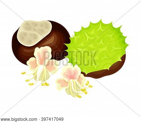 Conker Brown Seed Or Nut In Cracked Spiky Shell With Pinky Flowers Rested Nearby Vector Illustration