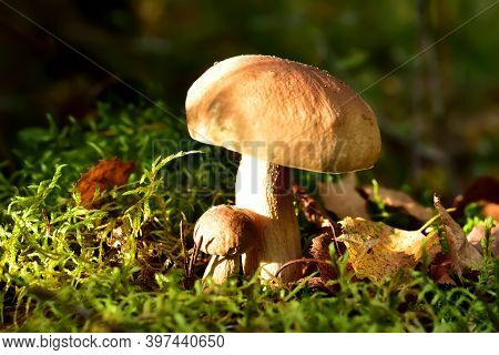 Group Of The White Mushroom In Wildlife On Of Sunbeams Background. Boletus Grows In Forest Against T