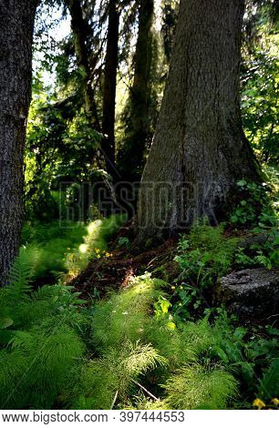 Horsetail Is A Perennial Plant. It Has A Horizontal Articulated, Creeping, Branched And Black Underg