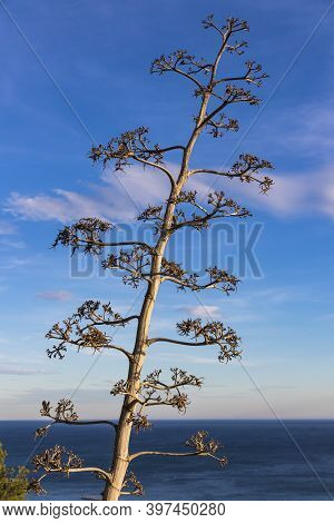 Flowering Agave Americana Plant (also Known As Century Plant Or Sentry Plant Or Maguey Or American A