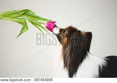 Cute Little Papillon Dog With A Tulip. Toy Continental Spaniel Dog Is Sniffing A Flower.
