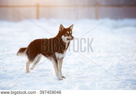 Adorable Mixed Breed Invalid Dog On Three Legs Is Standing On The Snow At Sunset In Winter