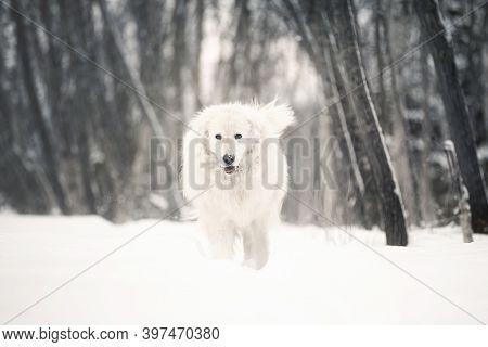 Beautiful Maremmano Abruzzese Sheepdog Walking On The Snow In The Forest In Winter. Big White Maremm