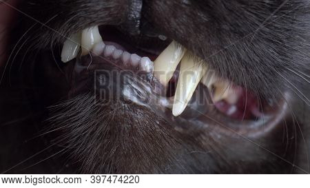 Extremely Close-up, Detailed. White Teeth, Grin Of A Black Cat