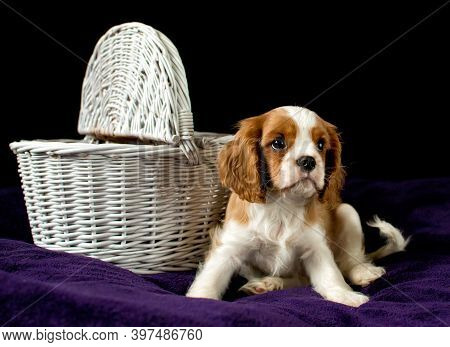 A Young Dog Cavalier King Charles Spaniel Next To A Wicker Shopping Cart