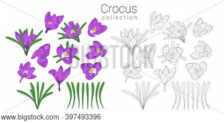 Hand Drawn Mauve And Monochrome Crocus Flowers Clipart. Floral Design Element. Isolated On White Bac